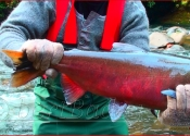 Coho Salmon  The Trent River, BC copy